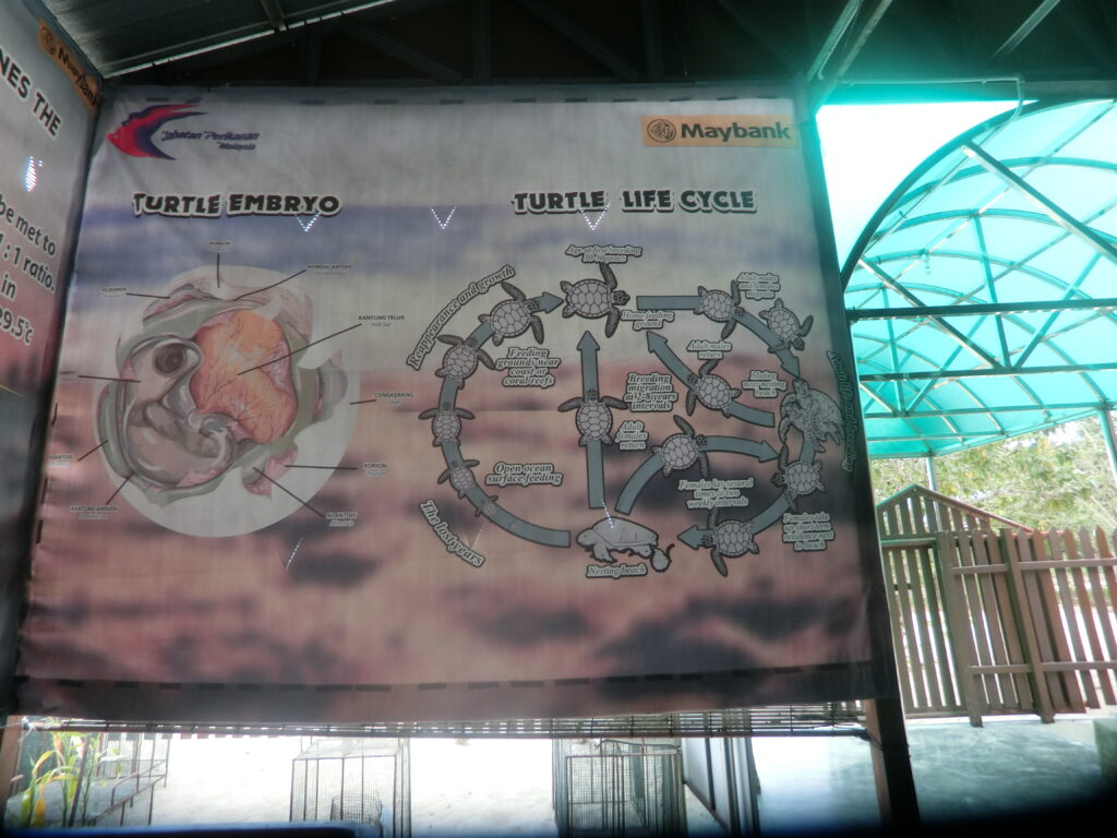 lifecycle_of_turtle_at_turtle_island_penang